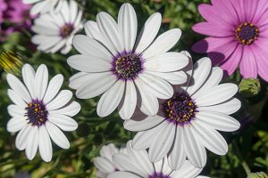 Flowers White and violet daisies