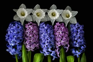 Hyacinths and narcissus