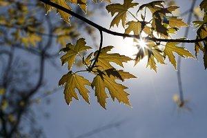 backlit young foliage
