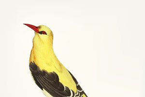 Hand drawn of golden thrush