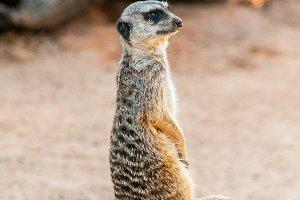 Meerkat Surikate found in Zoo