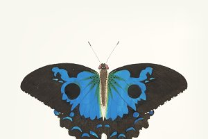 Hand drawn of papilio diomedes