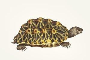 Hand drawn of Radiated tortoise