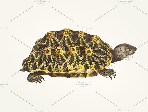 Hand drawn of Radiated tortoise