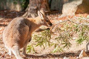 A western australian kangaroo