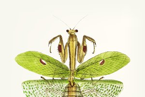Hand drawn of sacred mantis