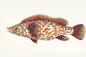 Hand drawn of variegated wrasse