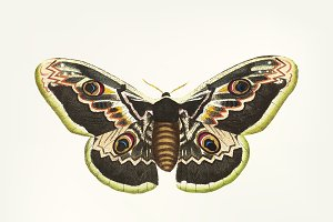 Hand drawn great peacock moth