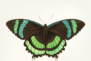 Drawing of banded tailed butterfly