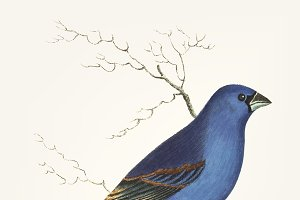 Hand drawn of deep blue grosbeak