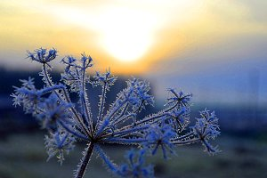 Grass in the hoar-frost