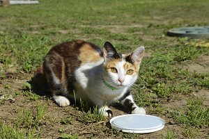 three-colored cat.