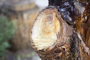 Tree trunk, felled trees, threat