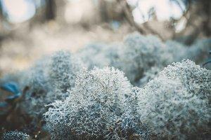 Reindeer lichen icelandic moss