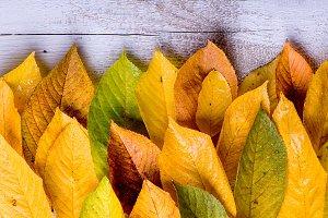 Autumn composition. Various colorful leaves. Studio shot, wooden