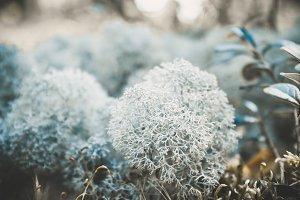 Reindeer icelandic moss