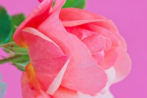 Macro pink rose flower