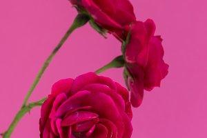 Macro red roses flowers