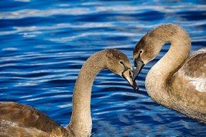 Two swans in love, heart shape
