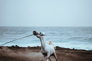 Beautiful white horse run in dust on the black volcanic sand on the Atlantic coastline