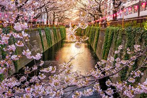 Cherry blossom at Meguro canal at tw