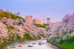 Chidorigafuchi park with full bloom