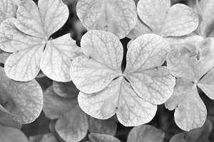 Clover Field Background Black White