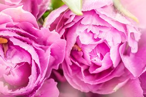 Bunch of Purple Peony Style Tulips