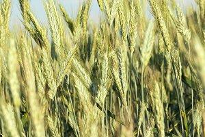 immature green wheat