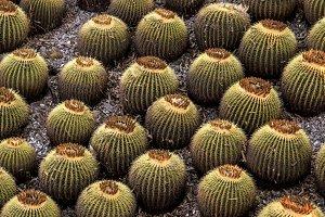 Cactus Balls Plants