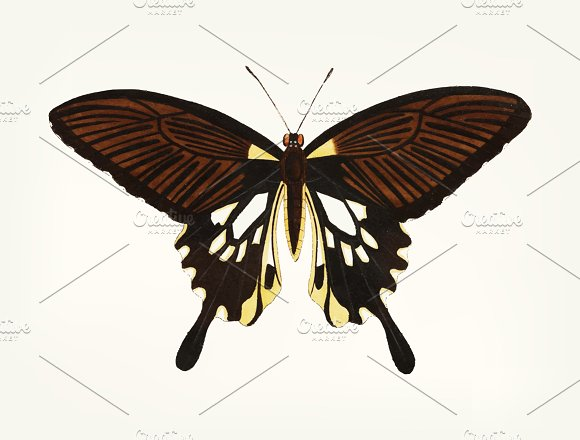 Drawing Of Butterfly Tailed Wings