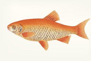 Hand drawn of Orange carp