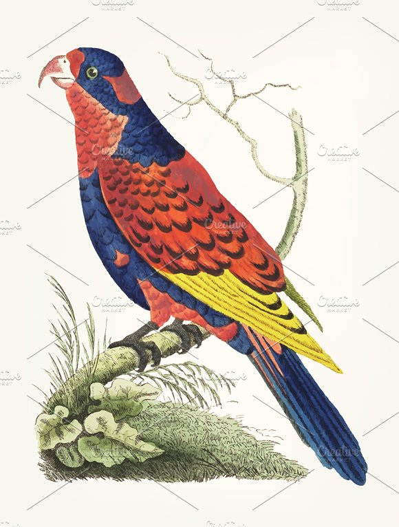Hand Drawn Of Indian Lory