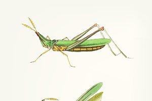 Hand drawn of locust