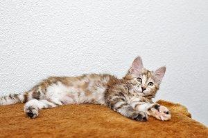 Bobtail gray kitten resting.