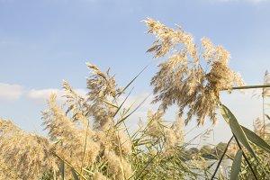 Reed, river vegetation, wildlife