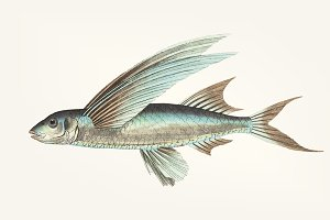 Drawing of Middle-finned Flyingfish