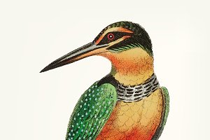Hand drawn of kingfisher