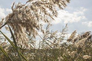 Reed, river vegetation