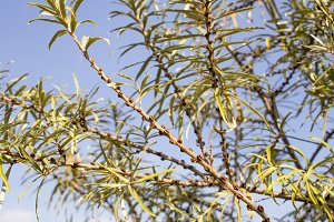 Branches of sea buckthorn tree