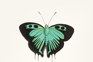 Drawing of double-tailed butterfly