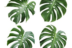 Monstera deliciosa tropical leaf