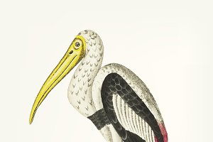 Hand drawn of white ibis