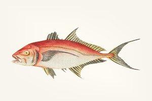 Hand drawn of red mackerel