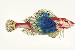 Hand drawn of Spotted Gurnard