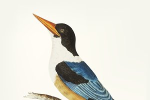 Drawing of black-capped kingfisher