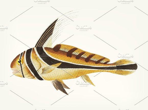 Hand Drawn Of Knight Fish