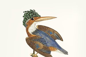 Hand drawn crested kingfisher