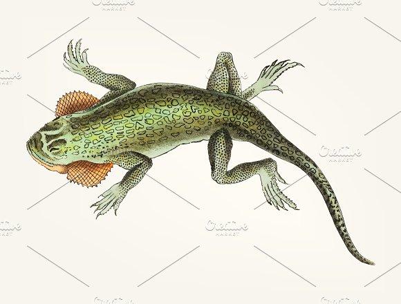 Drawing Of Lobe-cheeked Lizard