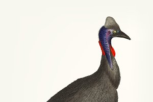 Hand drawn black cassowary
